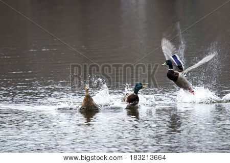 Two male mallards fight over a female duck
