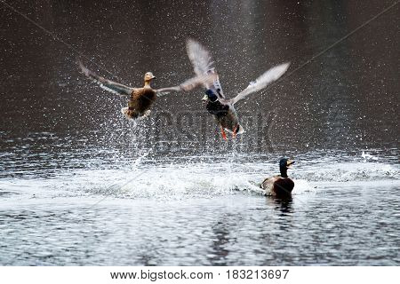 Two male mallards fight over a female duck with lots of splashing