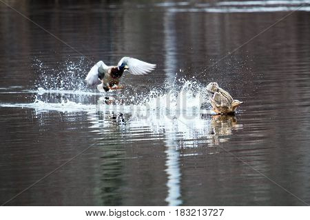 Two ducks landing in a lake with one crash landing