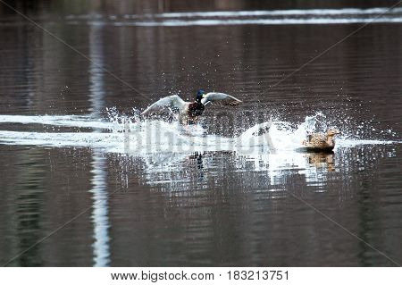 Two ducks land in a local lake at a State Park in New York