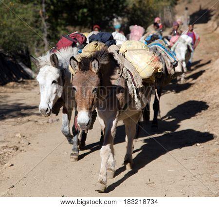 View of caravan of mules with goods - Western Nepal