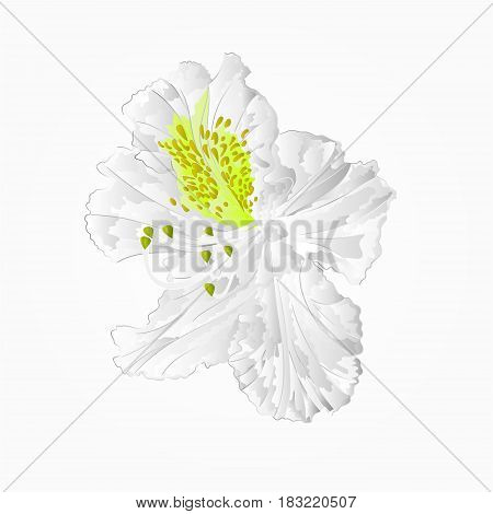 Blossoms white rhododendron seventh Mountain shrub vector illustration