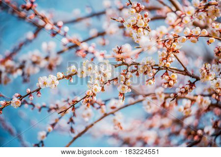 Apricot blossom. Fresh spring background. Beautiful white flowers of blossoming apricot tree. Wonderful natural background.