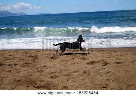 Dog Breed Pinscher Running on the Beach