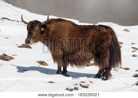 Brown yak on snow background in Annapurna Area near Ice lake Nepal