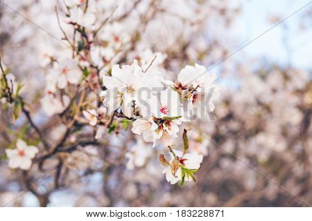 Spring concept. Almond flowers. spring almond tree pink flowers with branch outdoors