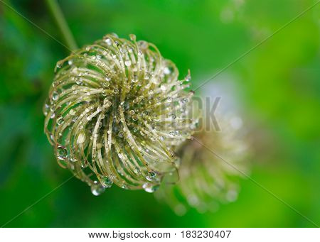 Clematis seed heads covered with water.