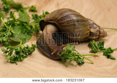 African achatina snail eats greens at home on wooden background