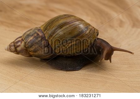 African snail Achatina at home on wooden background