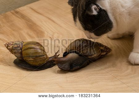 African snails Achatina at home with the cat sniffs them on wooden background. Friendship of animals