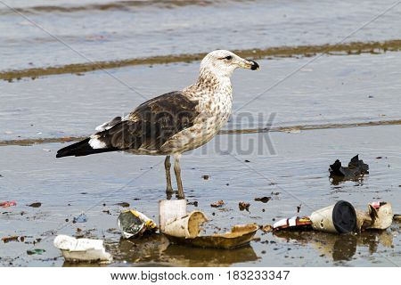 Petrel Bird Wading In Polluted Shallows Of Harbor