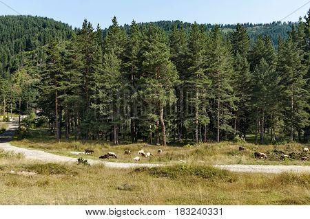 Mountain landscape and flock sheep in Rila mountain, Bulgaria