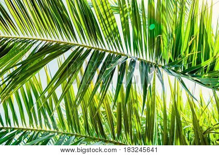 Palm green leaves in tropics, natural texture. Palm and sky