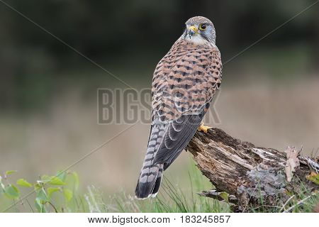 portrait of a kestrel perched on a tree stump looking back over the shoulder
