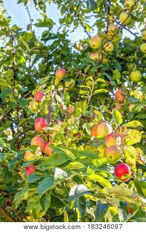 Apple Fruits In A Tree