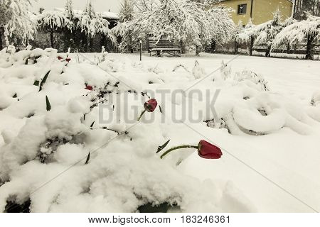 Blooming red tulip flowers in spring covered with the last cold snow