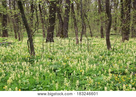 spring flowers on meadow in forest