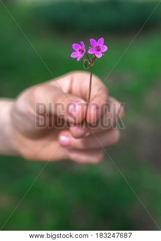 Hand gives a wild flower with love on the blured background.