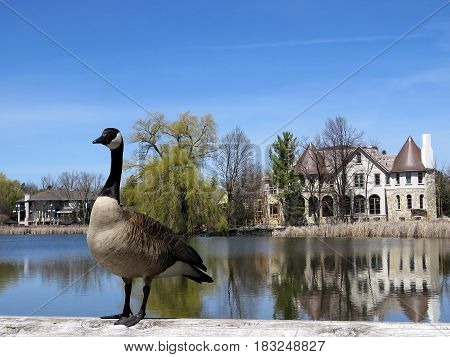 Canadian goose on the bank of Oakbank Pond in Thornhill Canada