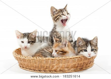 Studio shot of four young kittens lying in the basket
