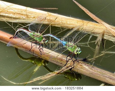 Dragonflies on the bank of Oakbank Pond in Thornhill Canada