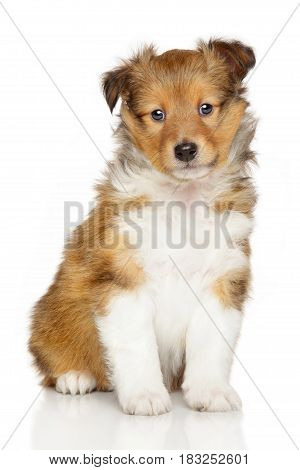 Shetland sheepdog puppy posing in front of white background poster