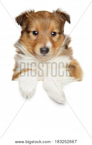 Shetland Sheepdog Puppy Above Banner