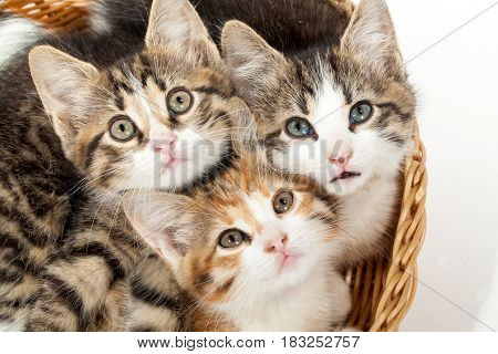 Studio shot of three young kittens lying in the basket
