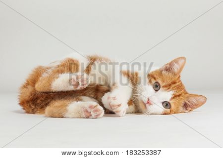 Studio shot of adorable playful young red kitten sits