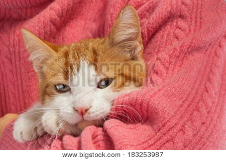 Studio shot of adorable young kitten sits in the hands
