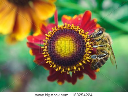 bee on coneflower echinacea with red petals. top view