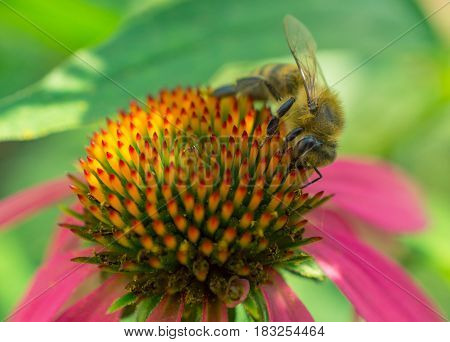 bee on echinacea with pink petals. side view