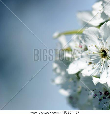 Spring snow crabapple tree blossoms frame open soft blue sky for copy