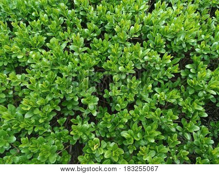 Fresh green buxus (Buxus sempervirens) leaves. Close-up of evergreen bush boxwood in the nature. Concept: Greenery, natural pattern, nature texture.
