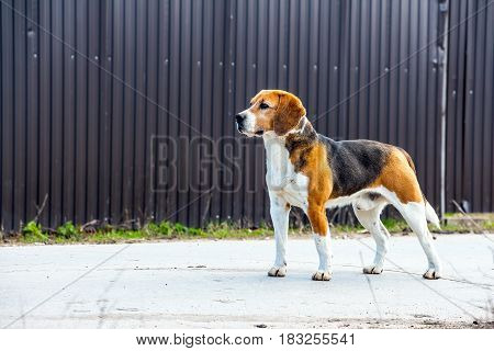 Dog beagle stands sideways to the camera. Side-view 2