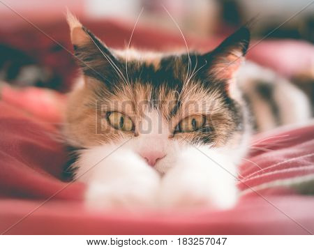 Tricolor cat lying looking behind its paws