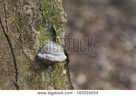 The Fomes Fomentarius On The Tree In The Wood, Background