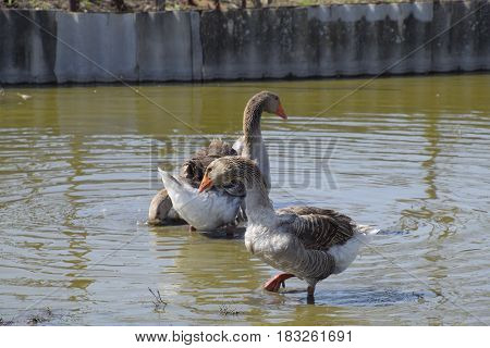 The Gray Goose Is Domestic. Homemade Gray Goose. Homemade Geese In An Artificial Pond