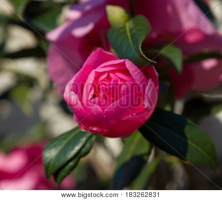 Deep pink flower bud of Camellia Japonica