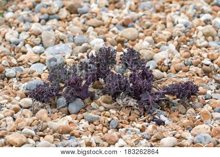 Newly-sprouted Sea Kale on pebble beach in East Sussex.