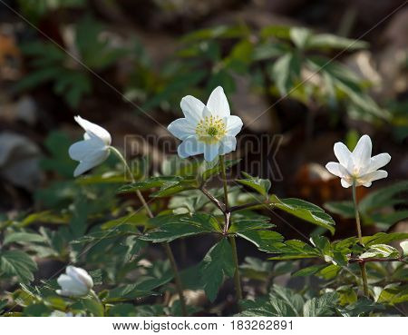 Wood Anemone flowers in English woodland during Springtime