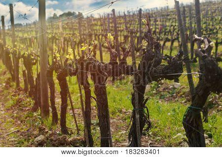Closeup On The Vines In Vineyard