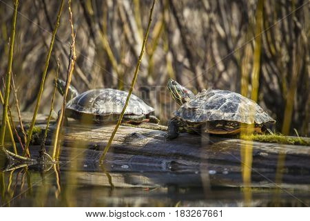 Two western painted turtles are basking on a log in Fernan Lake Idaho.