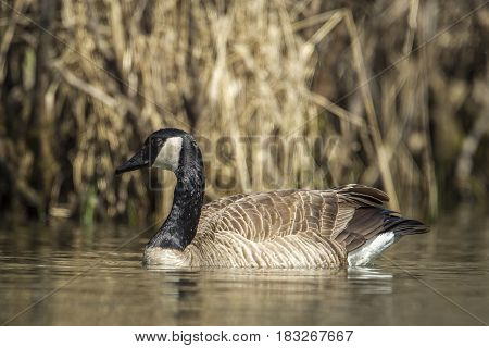 Close up of a canadian goose swimming in Fernan Lake in Idaho.