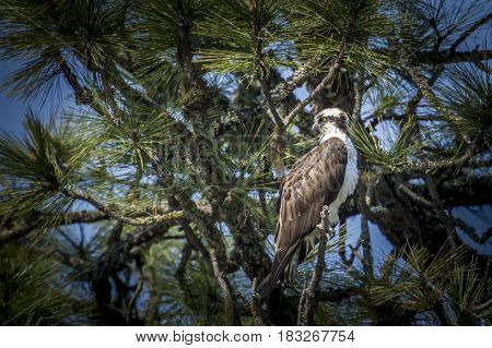 An osprey is perched in a tree in north Idaho by Fernan Lake.