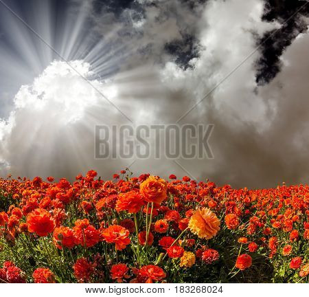 The bright southern sun shines through the dark cloud. The fields of red and yellow garden buttercups. Concept of rural tourism
