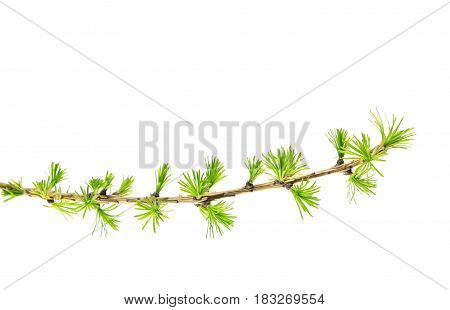 Branch of larch with green needles isolated on white background