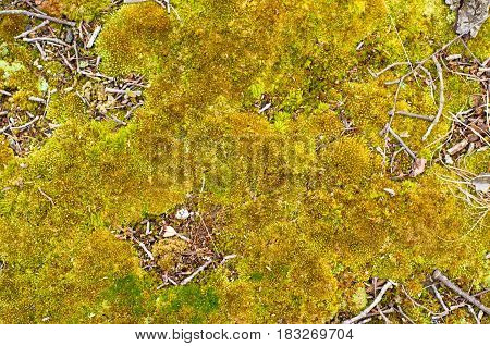 Old yellow moss texture background. Old moss