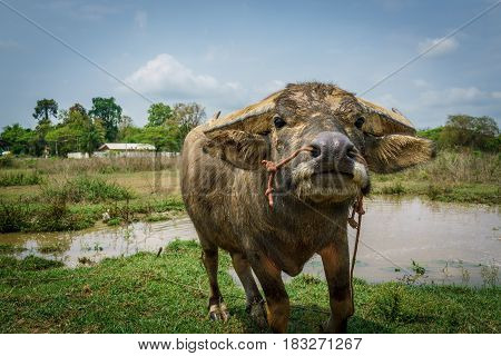 thai buffalo running for grass and after laying in dirt mud Thailand