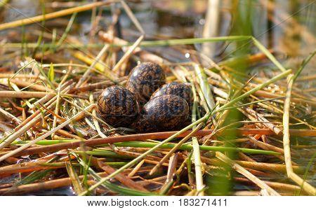 Lesser Jacana birds eggs in swamp nest of reeds.